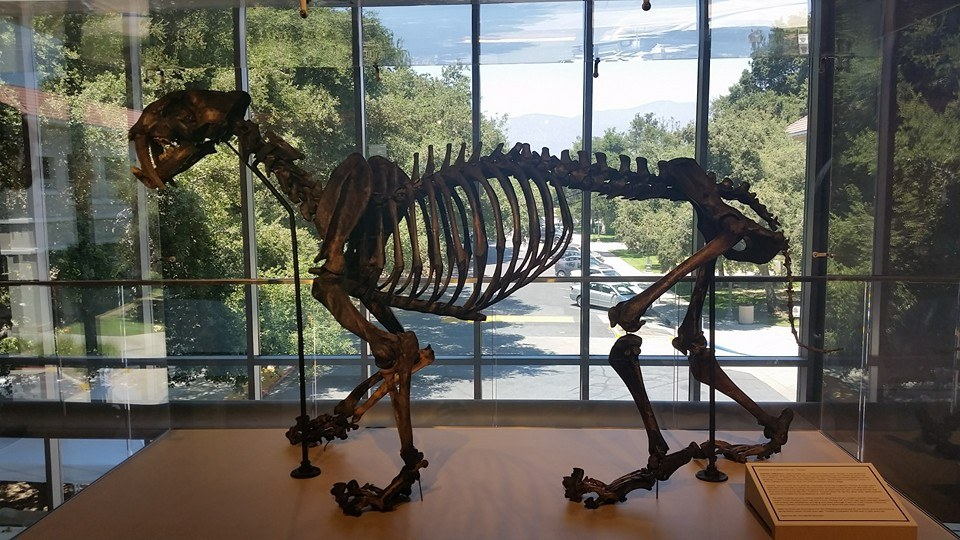 Fully articulated Pleistocene saber tooth cat